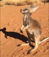 baby kangaroo giphy